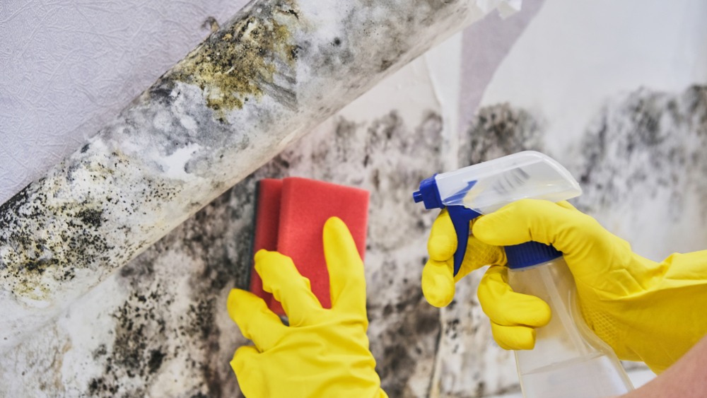A person wearing gloves and spraying and wiping down some green mold.