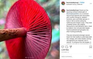 screenshot of an instagram post describing a type of fungi